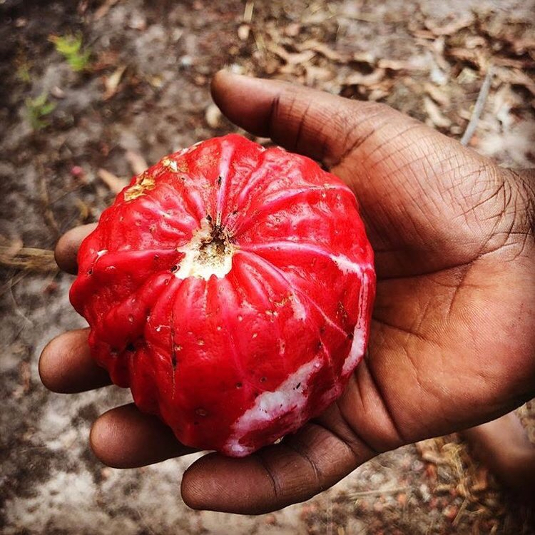Wild red apple, Maningrida. Photo: Bábbarra Designs.