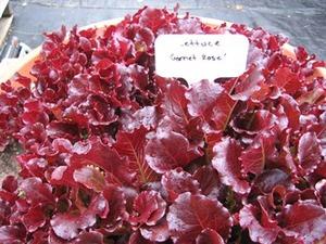 Garnet Rose lettuce
