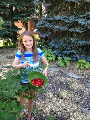 I love Nanking cherries! We have them in our front yard, where we have haskaps and serviceberries too.