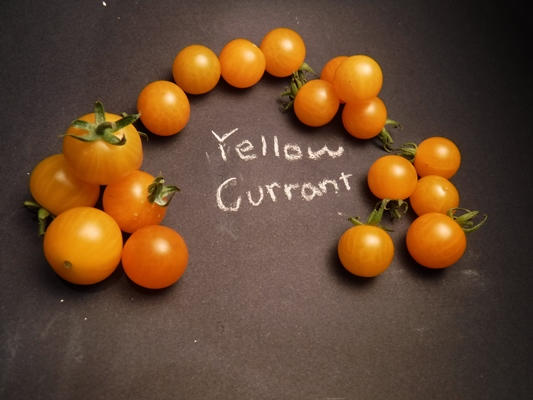 Yellow Currant tomato is perfect for a kids garden!