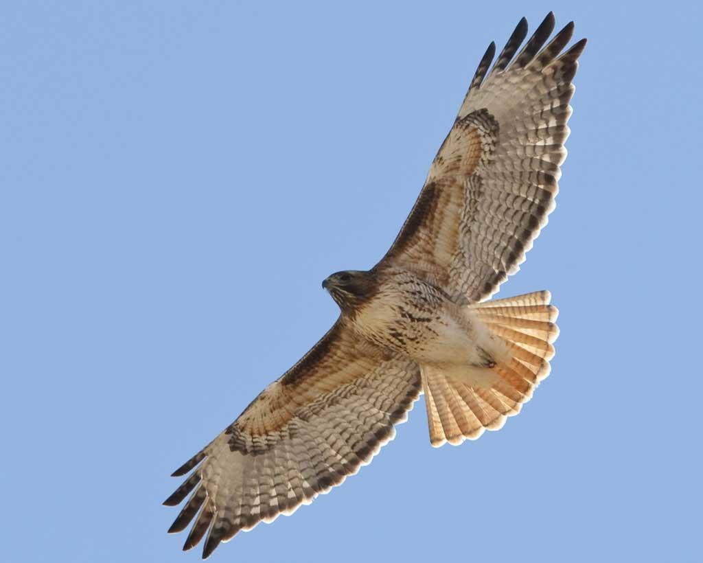 Red-tailed_Hawk_l07-52-061_l.jpg