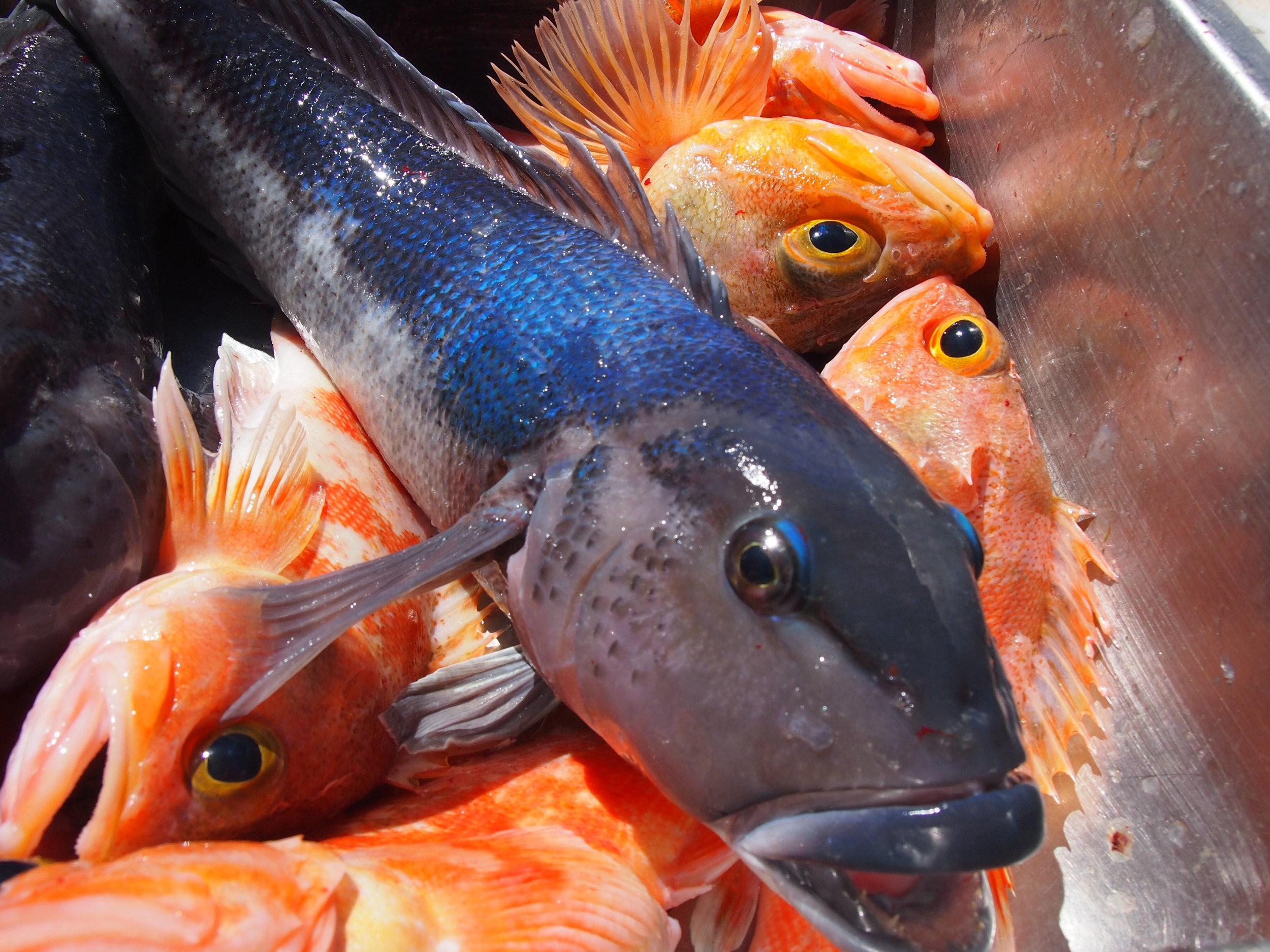 Blue cod and sea perch