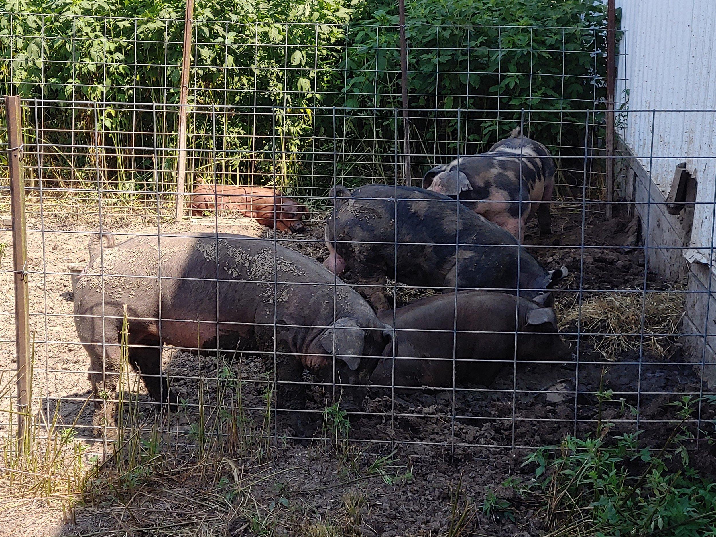 fruited plain hogs.jpg