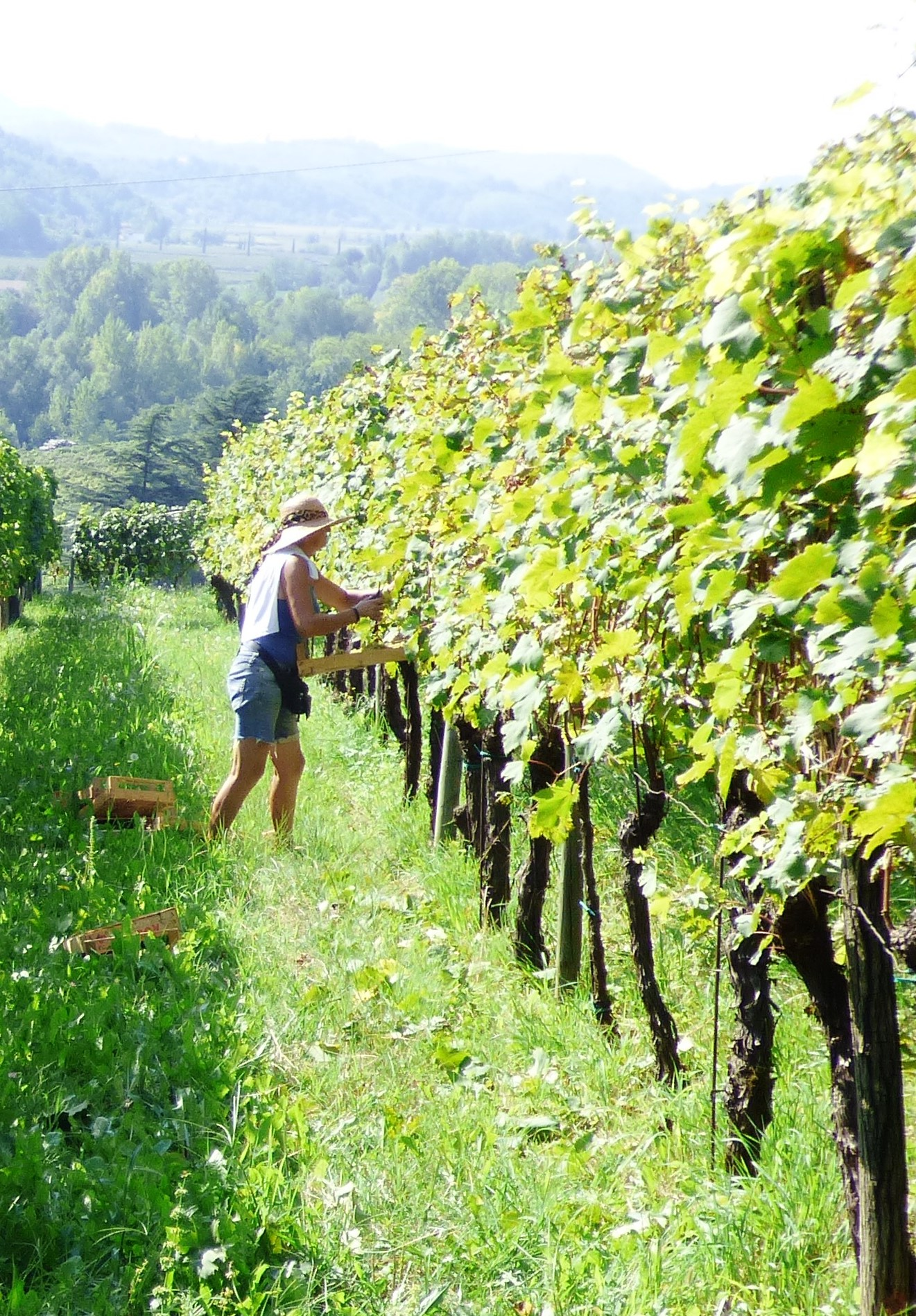 After retiring as a school teacher, Hilde Petrussa took over Vigna Petrussa from her mother in the vineyard and the cellar. She makes gorgeous wines with a personal touch in the north east italian region, Friuli Venezia Giulia.