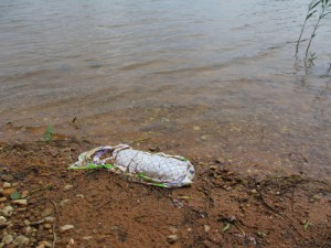 (3) one of several used diaper left on shoreline of Glass Beach