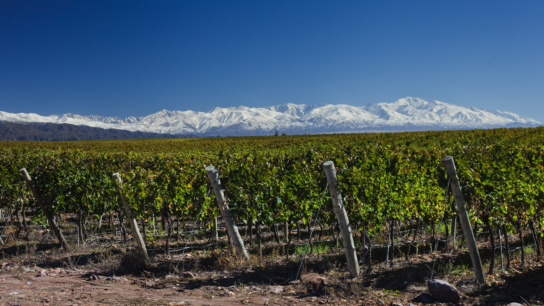 Viticulture - FINCA LOS ARBOLITOS | Chacayes | Uco Valley | Mendoza408 hectare vineyard producing high end grapes for Argentina's best wines
