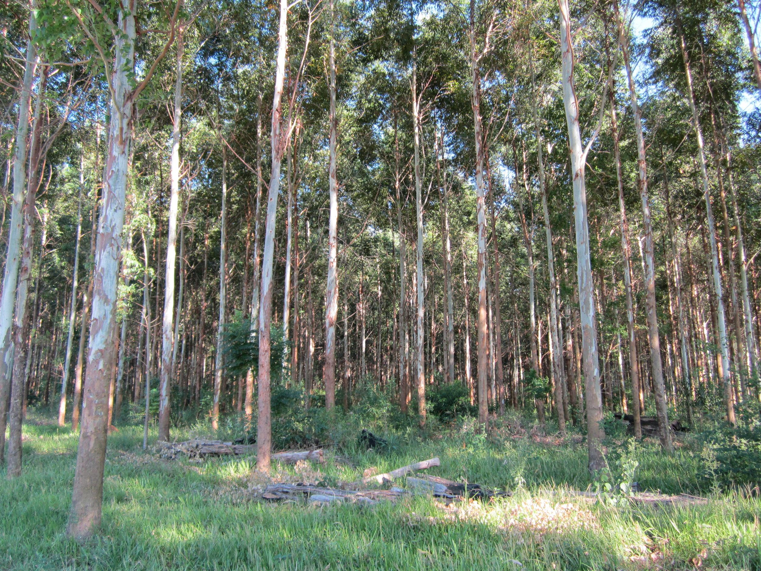 La Negra eucalyptus.JPG