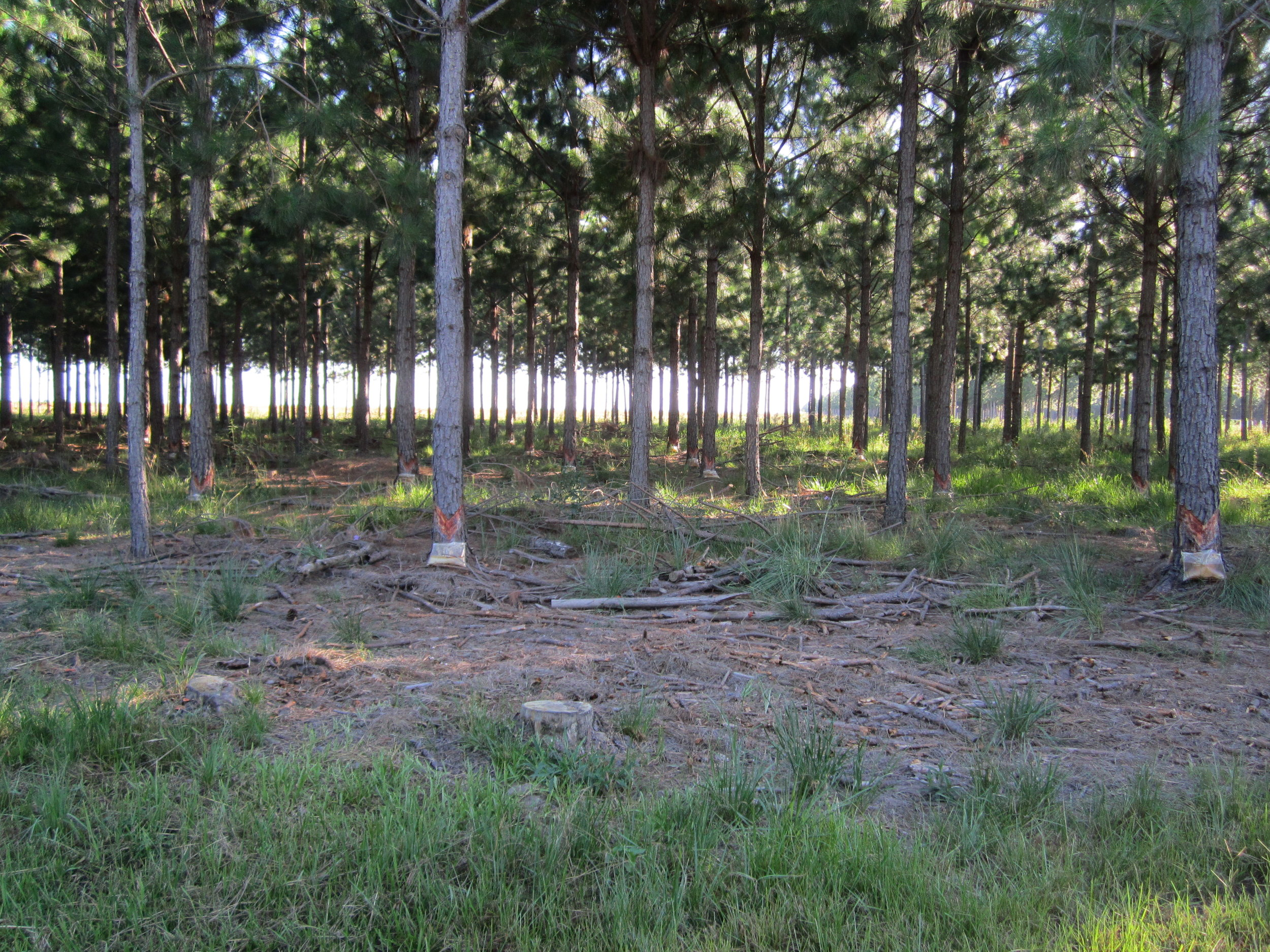 La Negra pine tapping.JPG