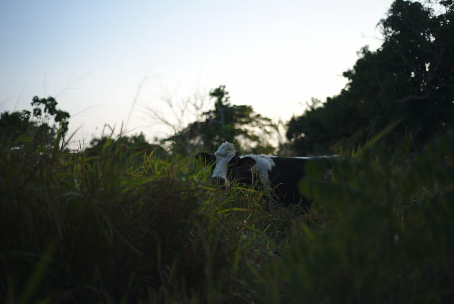 Photo of a Cuban cow, provided by Alberto Bayo