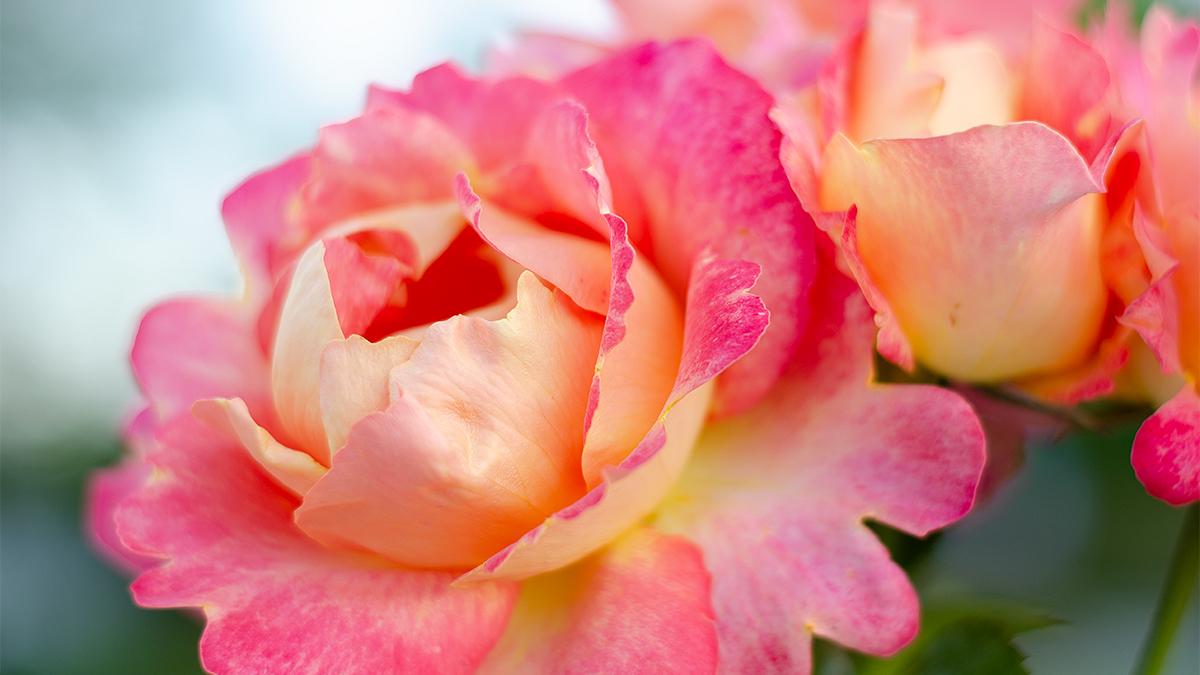 Roser i bed
