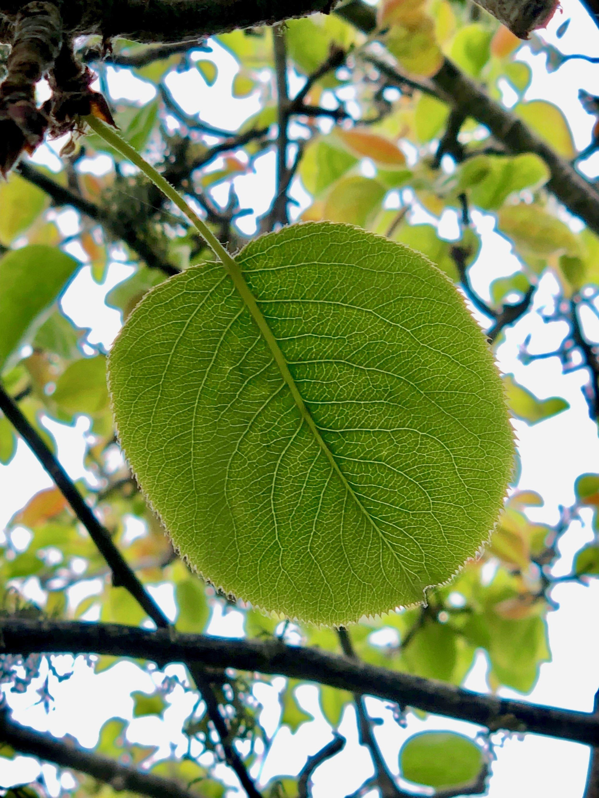 Stealing Mulberries poem image by Veronica Kornberg