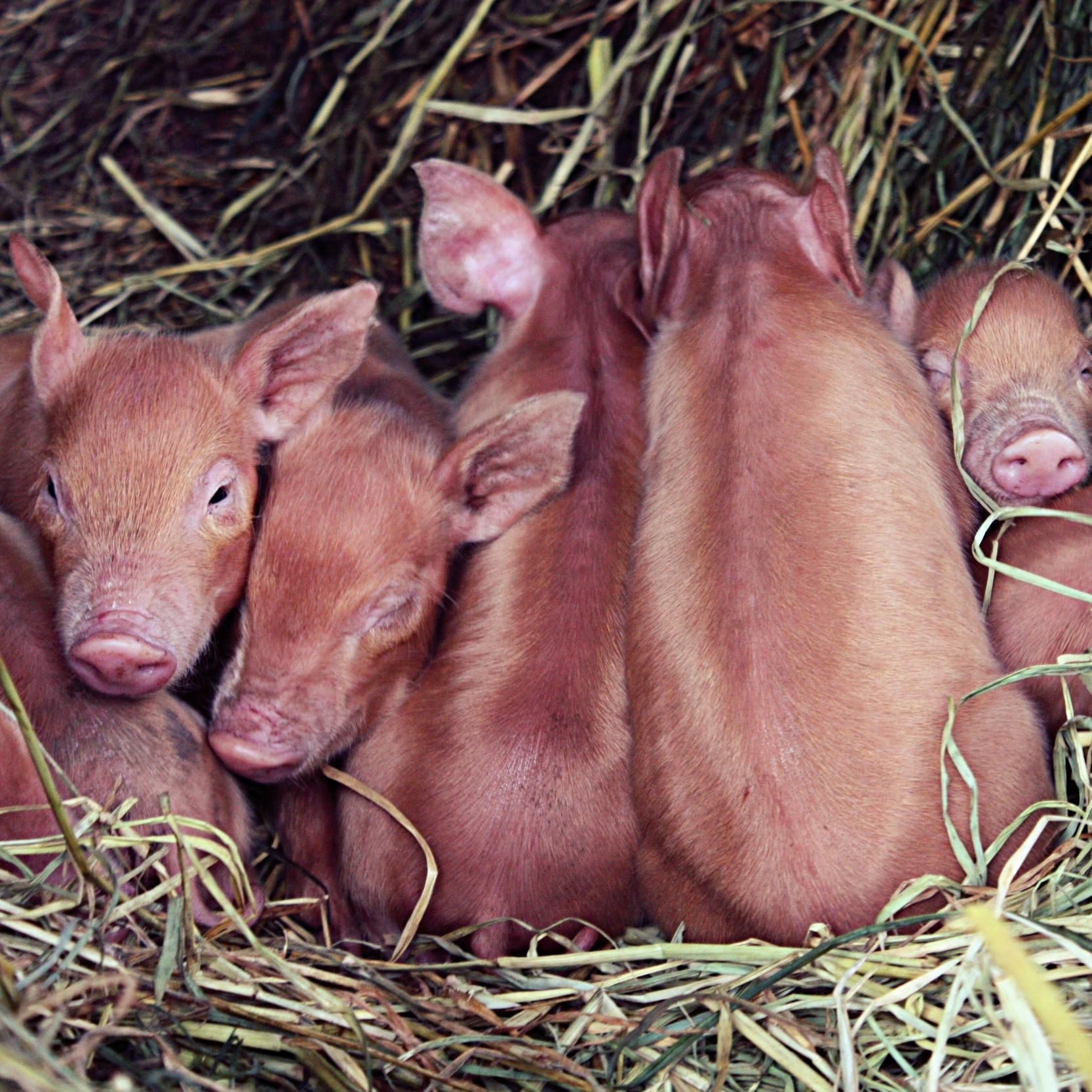 Frida's Field Farm Byron Bay Hinterland Pigs
