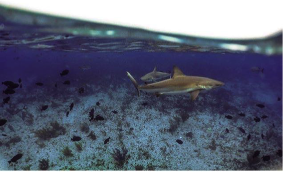 Caribbean reef sharks cruising the waters of Bimini. Photo Jenny Bortoluzzi @SharkyJenny