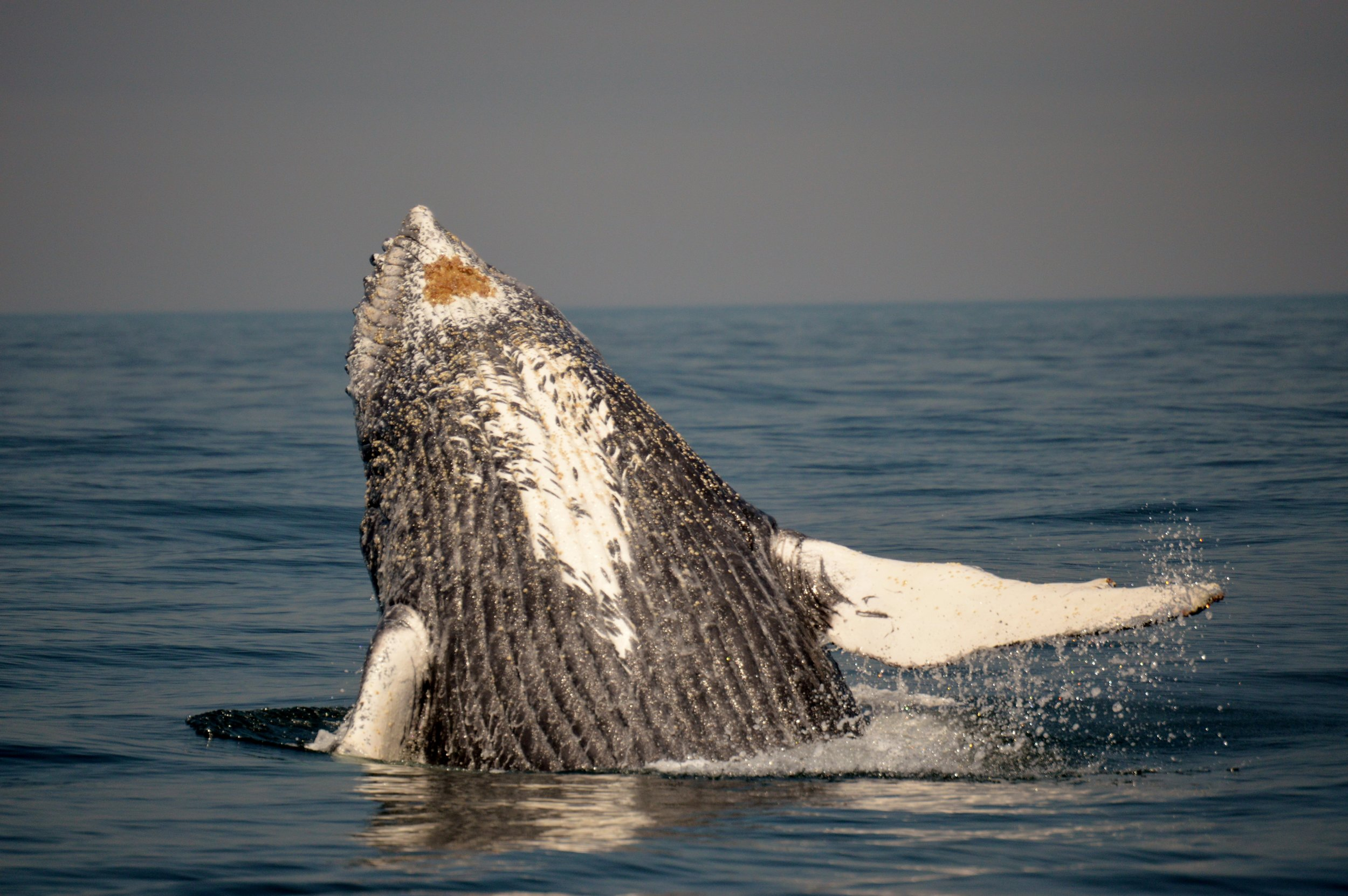 Humpback whale breach in Plettenberg Bay. Photo: Sally Sivewright