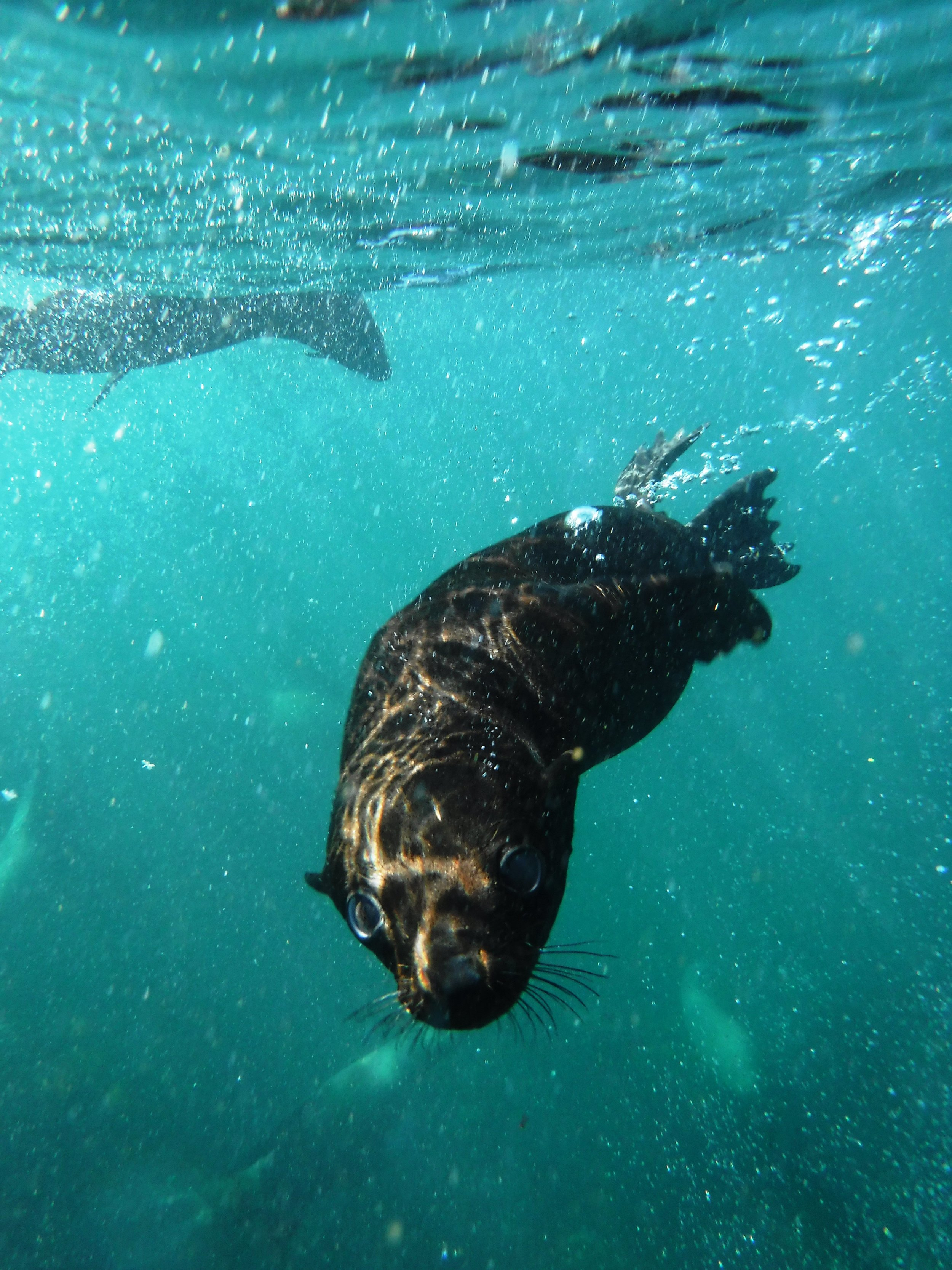 Swimming with Cape Fur Seals in Hout Bay. Photo: Sally Sivewright