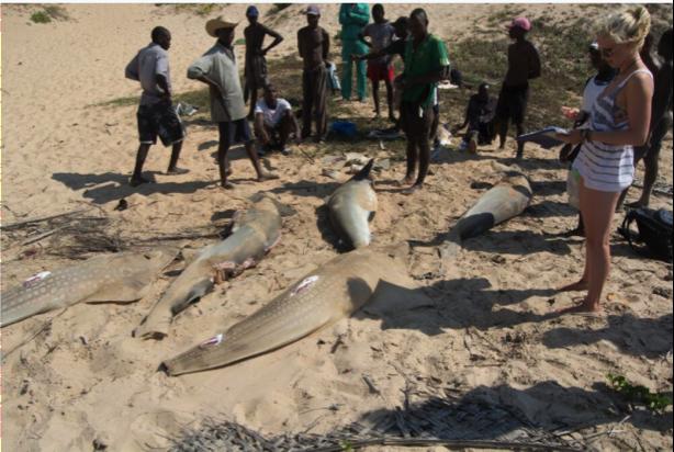 Shark finning. Photo: Francesca Trotman