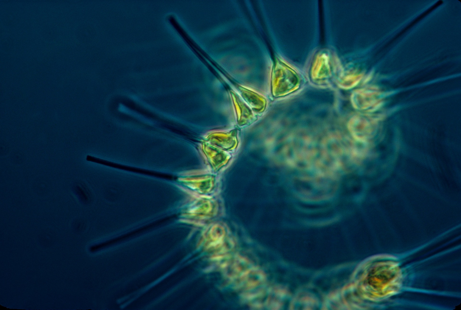 Phytoplankton. Photo: Pixabay