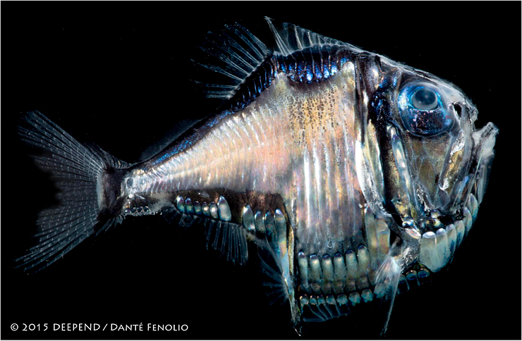 Argyropelecus aculeatus - the Atlantic silver hatchetfish - one of the indicator species collected during this research study. Photo: Dante Fenolio