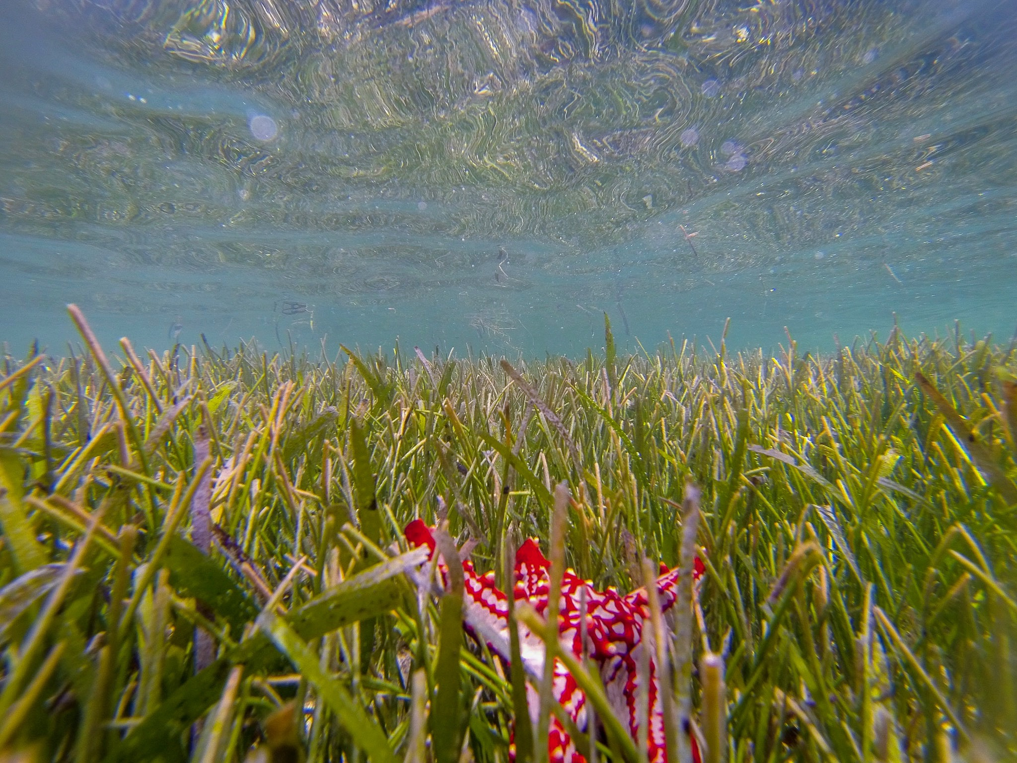 Seagrass is not algae, but a true flowering plant. Some of them form dense meadows that can be seen from space. Photo: @ritasteyn