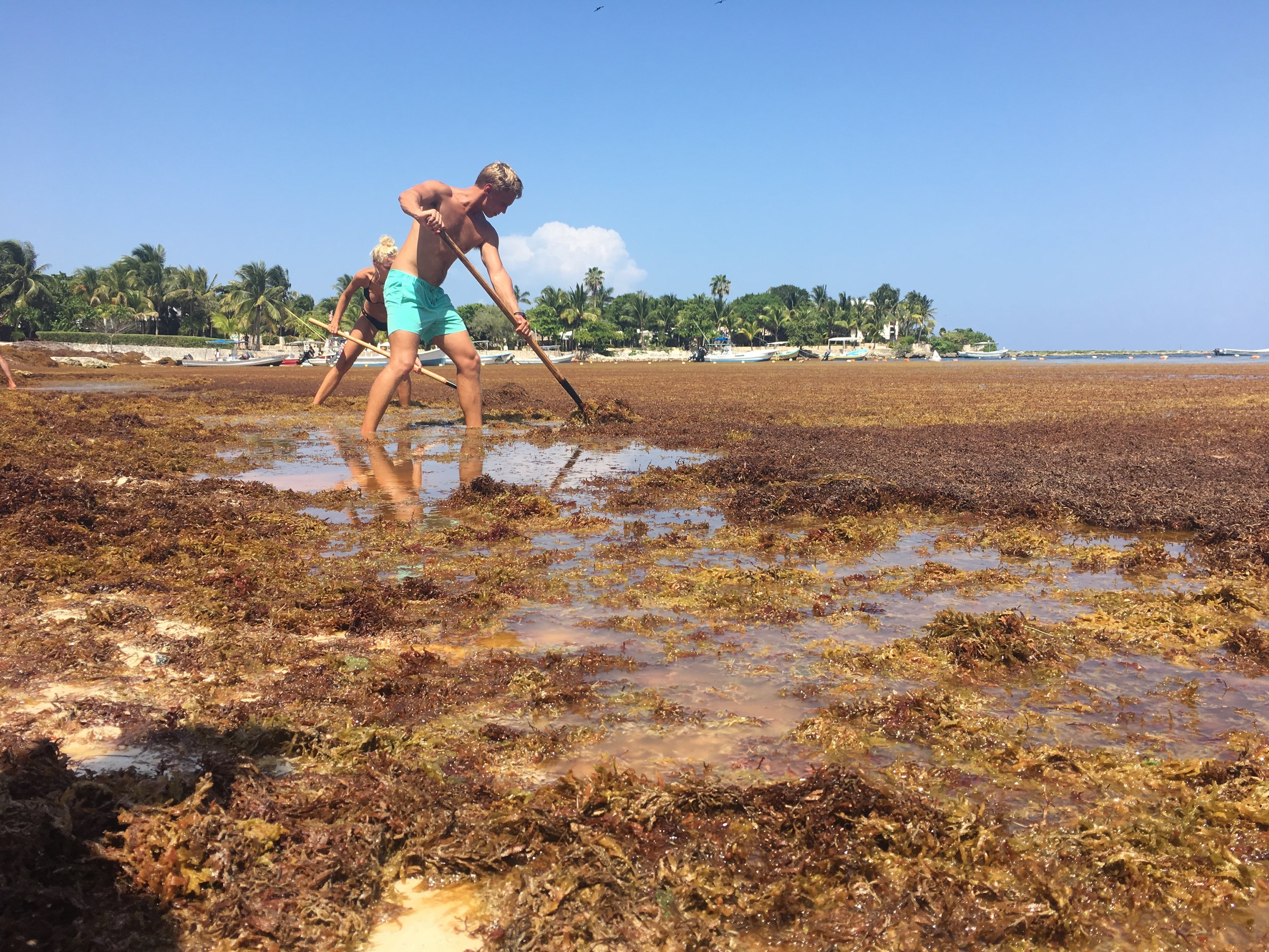 Volunteers make en effort to mitigate the effects of an influx of Sargassum, a brown algae that is currently washing ashore in masses across the Caribbean. Photo: Daniella Marston
