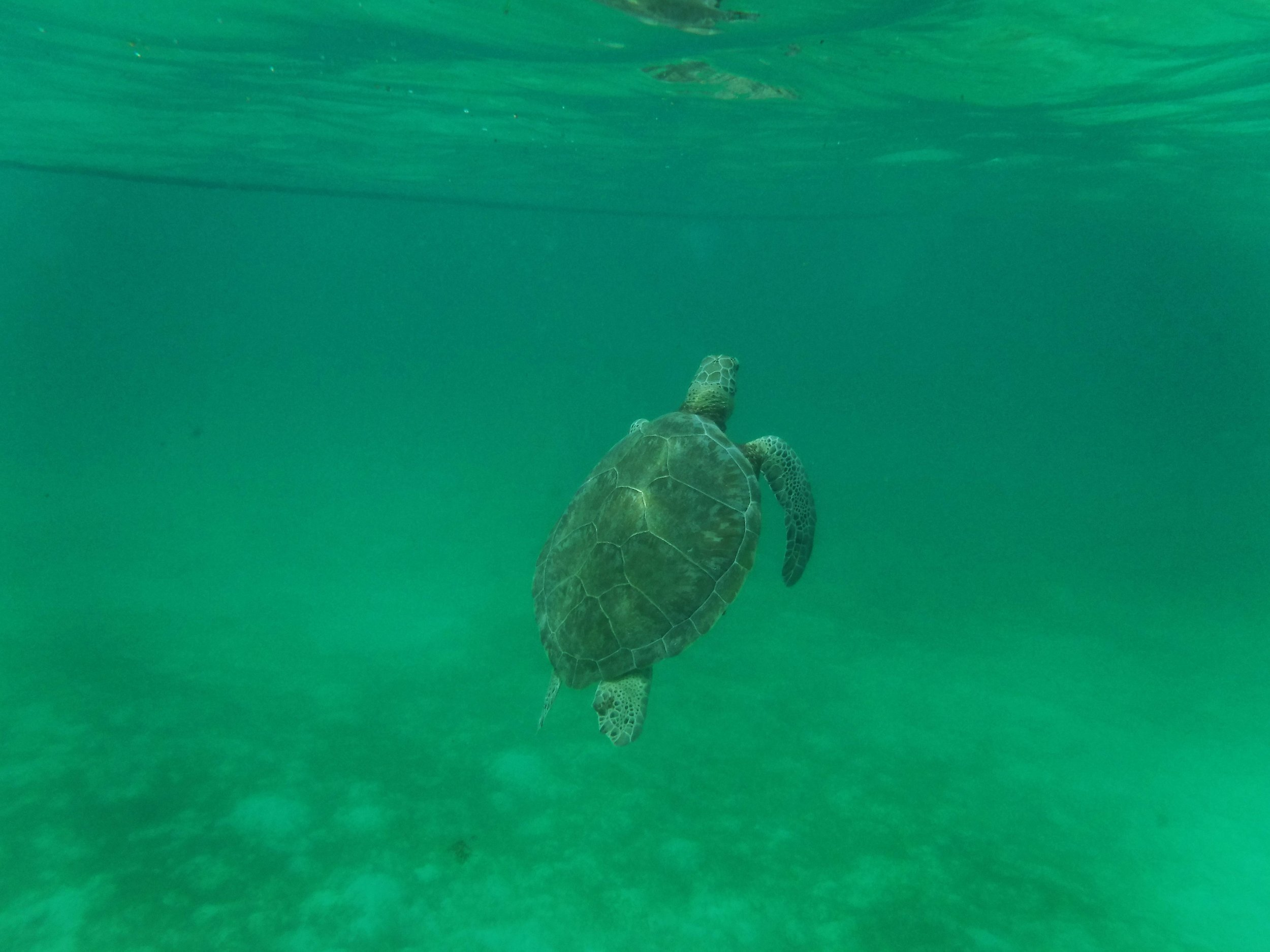 A sea turtle ascends for a breath of air after grazing in a seagrass bed. Photo: Daniella Marston
