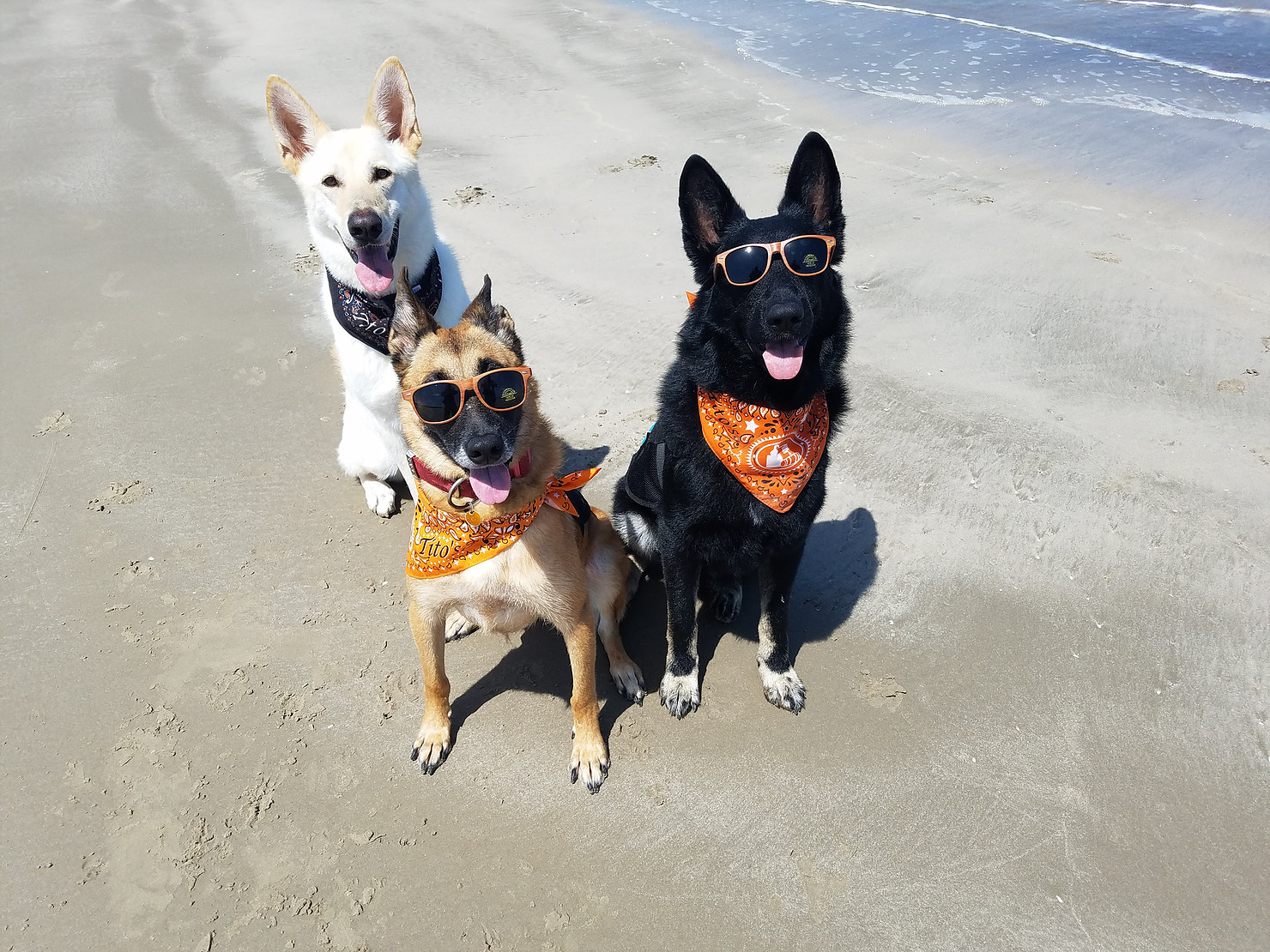 Dasha, Jarvis, and Saul (L-R) are trained sea turtle nest detection dogs. Photo: @K9s4Conservation