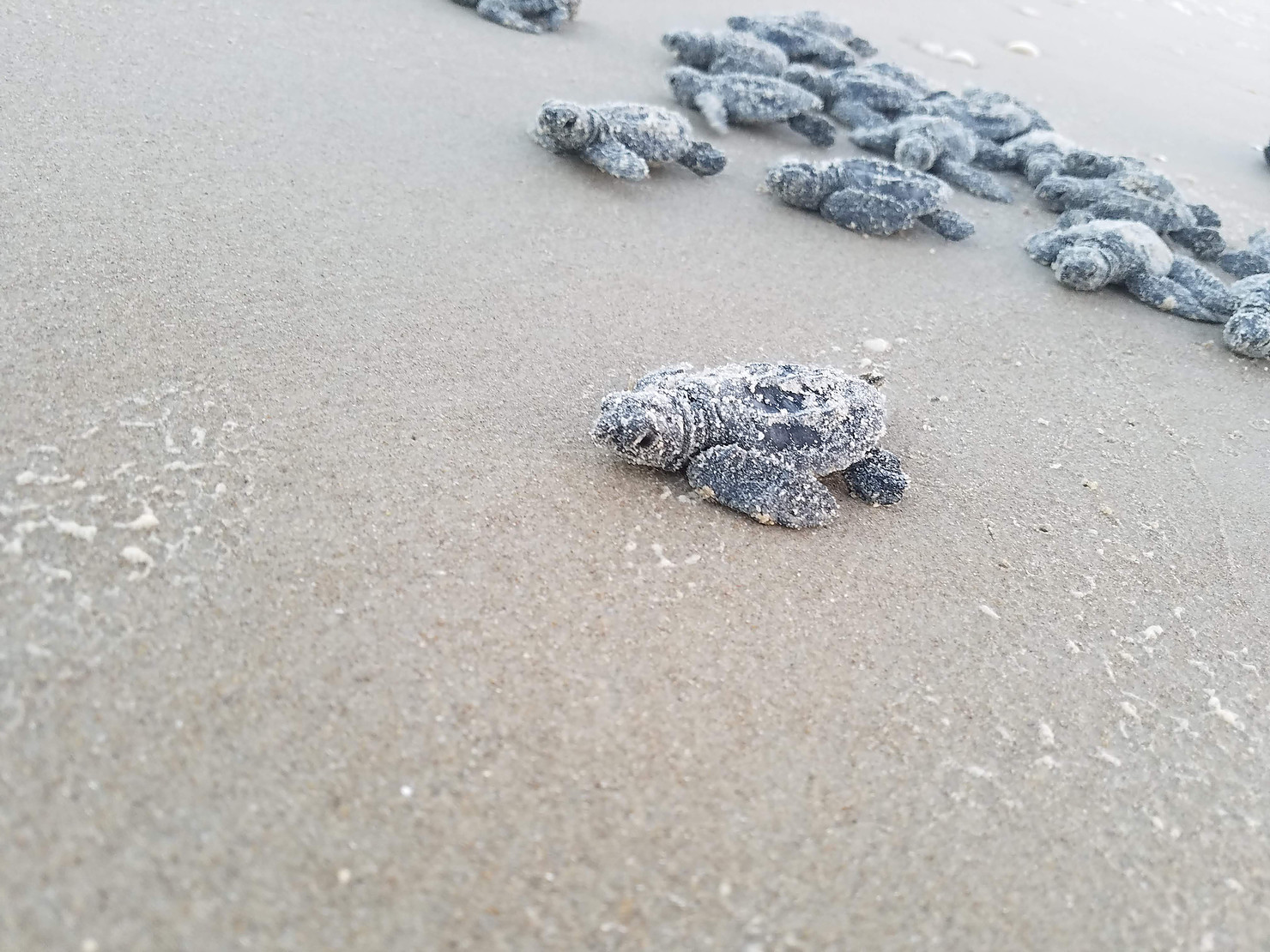 A Kemp's Ridley sea turtle hatchling making its way back to the ocean. Photo: @K9s4Conservation