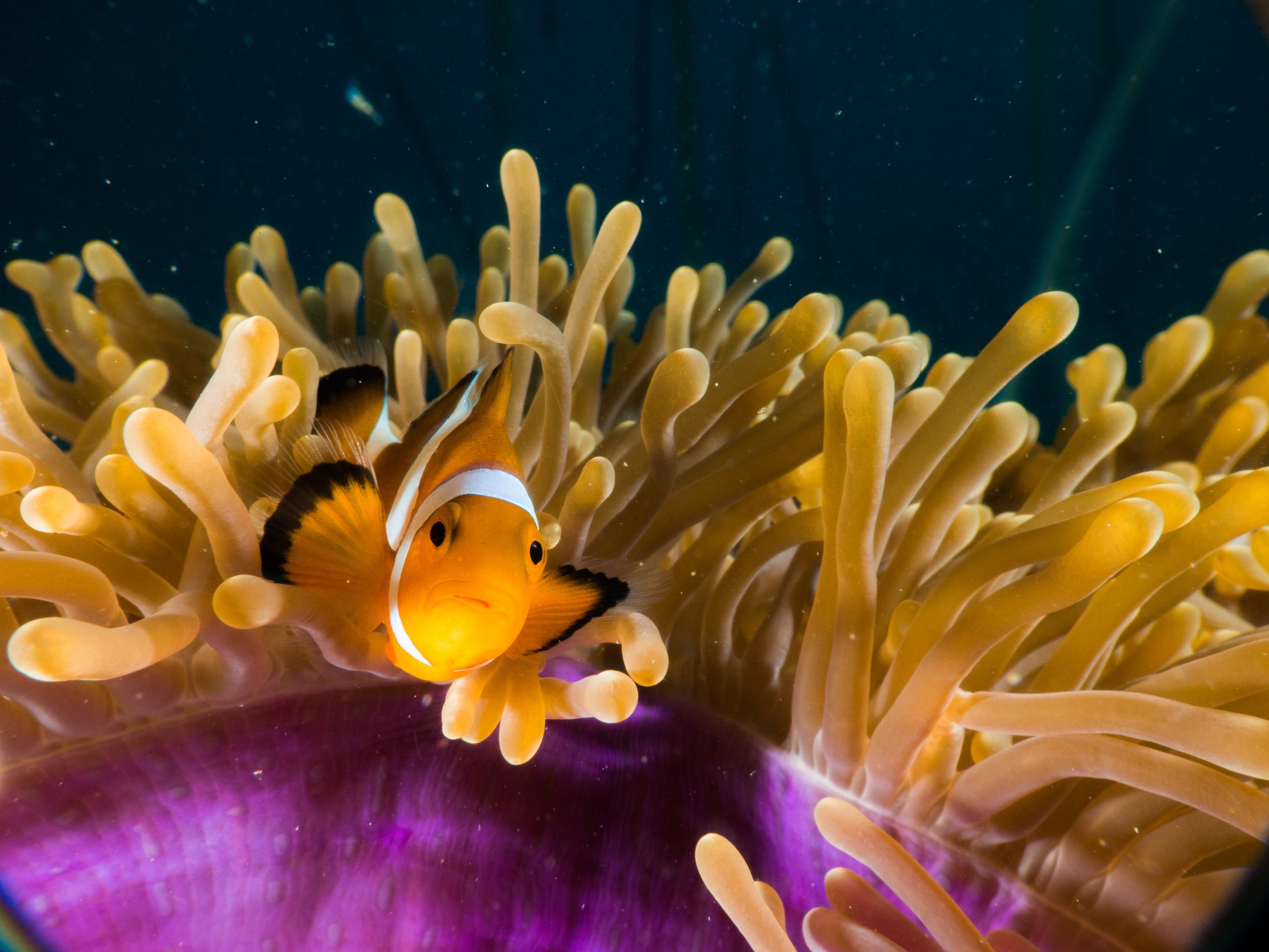 Empowering the locals leads to better defence of the resources – just like this clownfish and its host anemone. Photo: @maekld