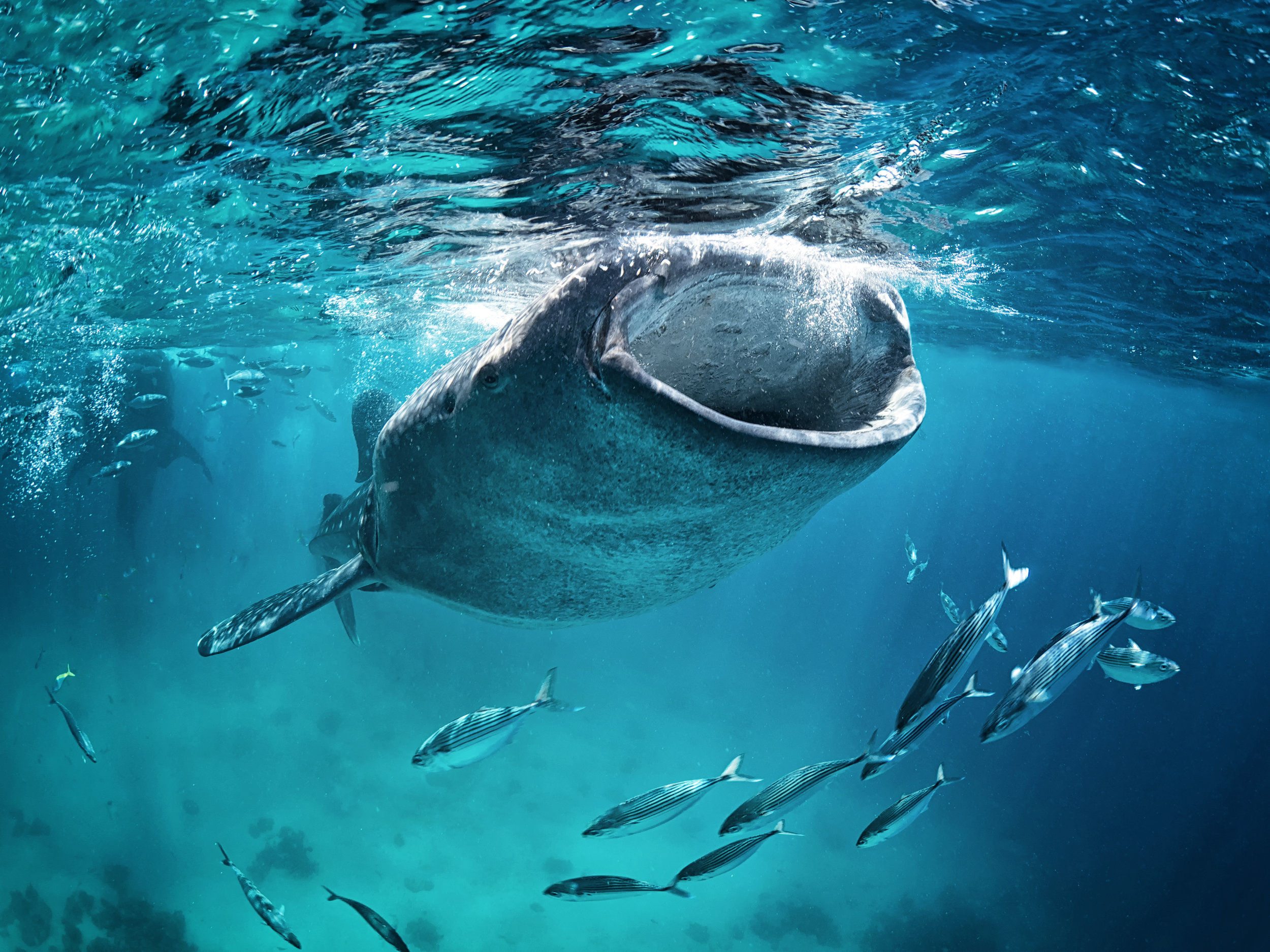 Whale shark (Stegostoma fasciatum). Photo: Shutterstock [courtesy of the Zoological Society of London]