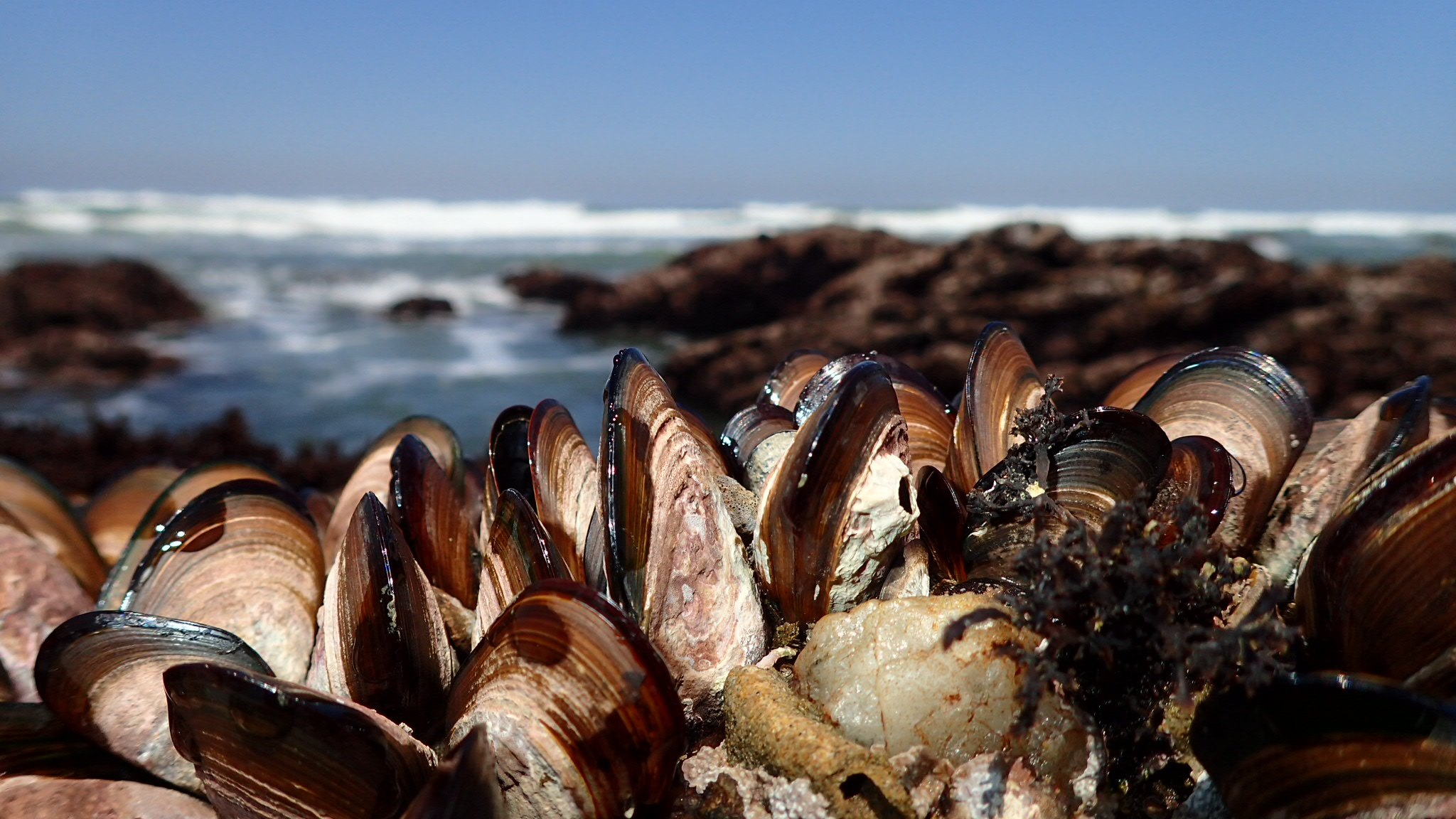 A typical temperate rocky shoreline scene. Lots of surf, lots of creatures - and in this case - lots of mussels. Photo: Rita Steyn @ritasteyn