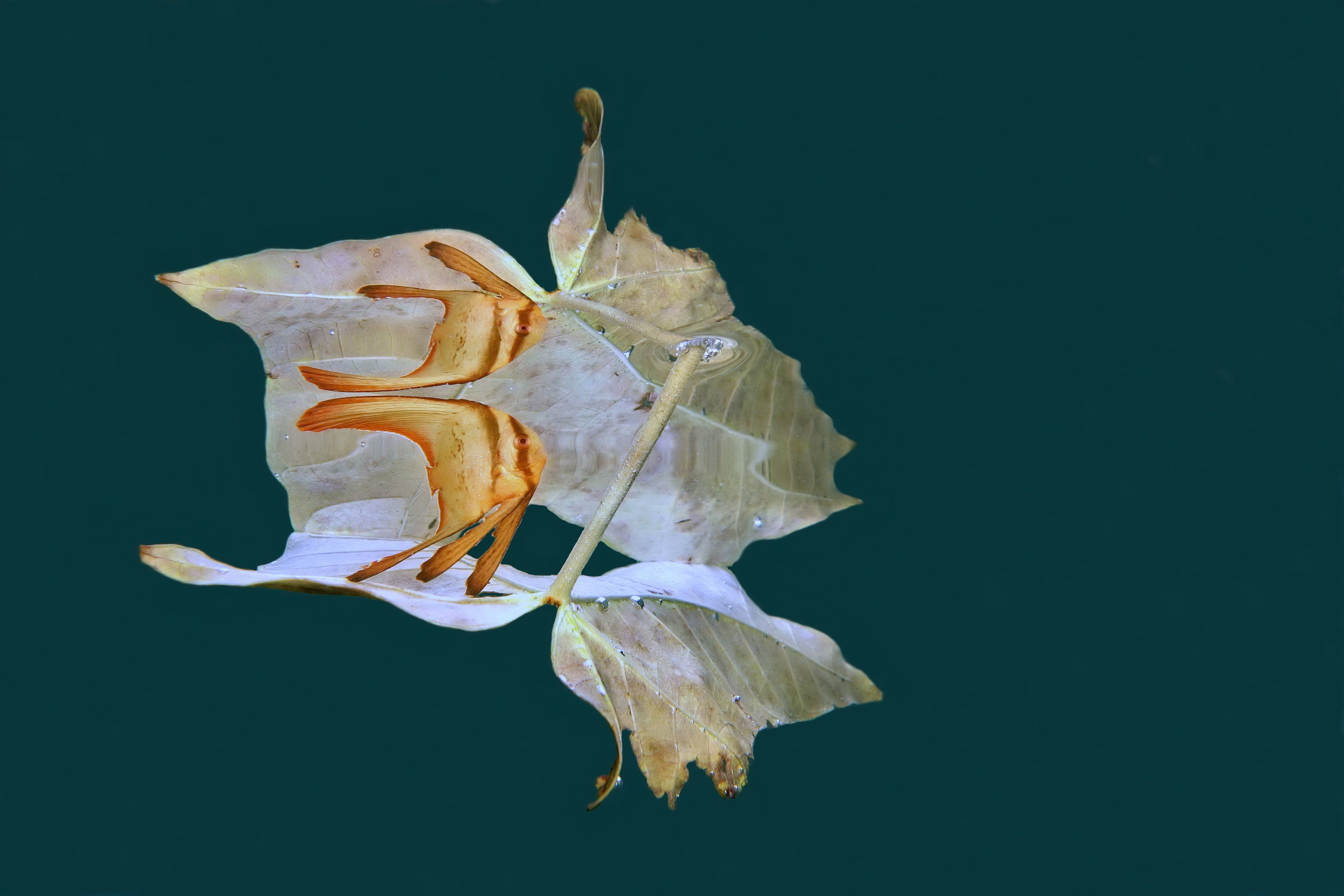 Reflection of a juvenile platax tera on a leaf ©Jack Berthomier/UPY2019
