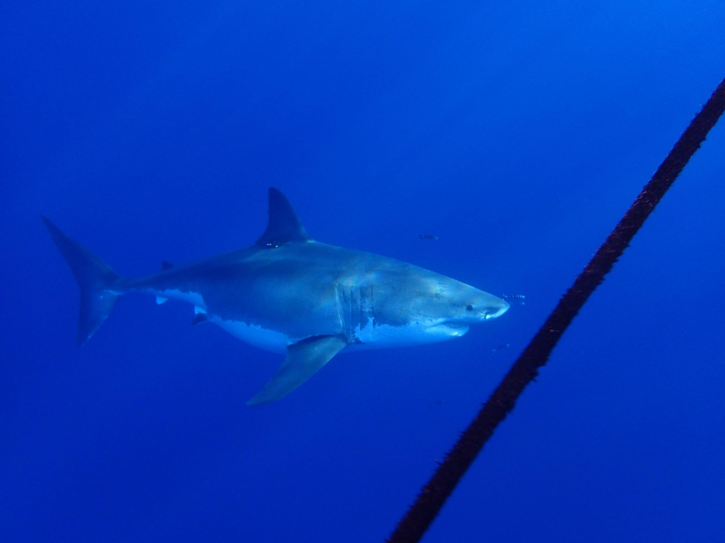 A great white shark cruises by Apryl. Photo: @elportoshark
