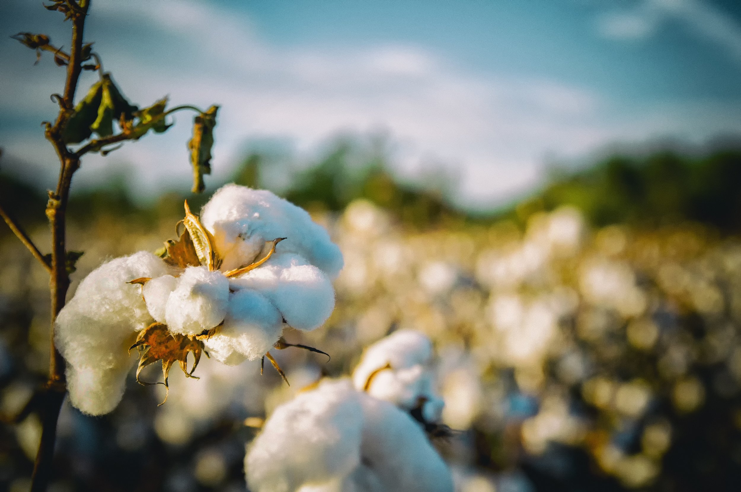 Cotton requires vast amounts of water and fertilisers to grow. Photo: Pixabay