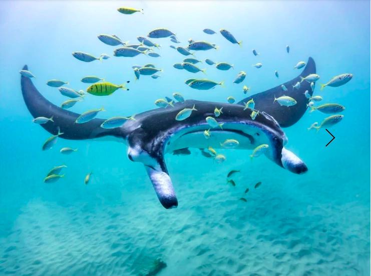 Manta ray. Photo: Daniel Browne
