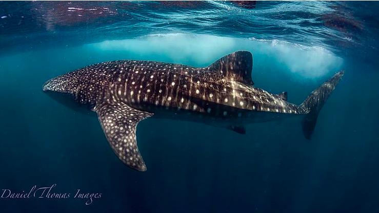 Whale shark. Photo: Daniel Browne