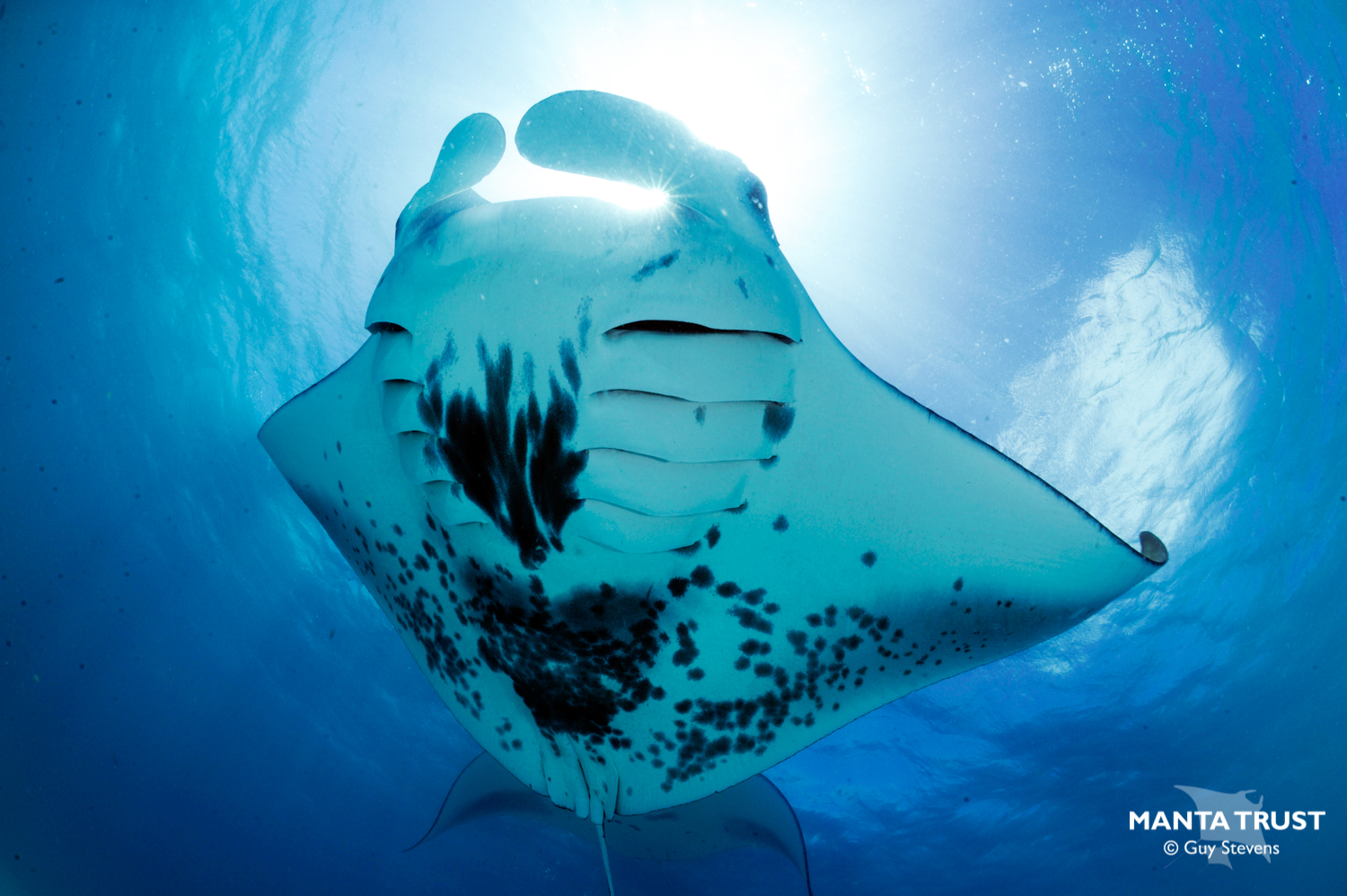 Manta rays are filter feeders, and can ingest micro plastics. Photo: Guy Stevens - Manta Trust
