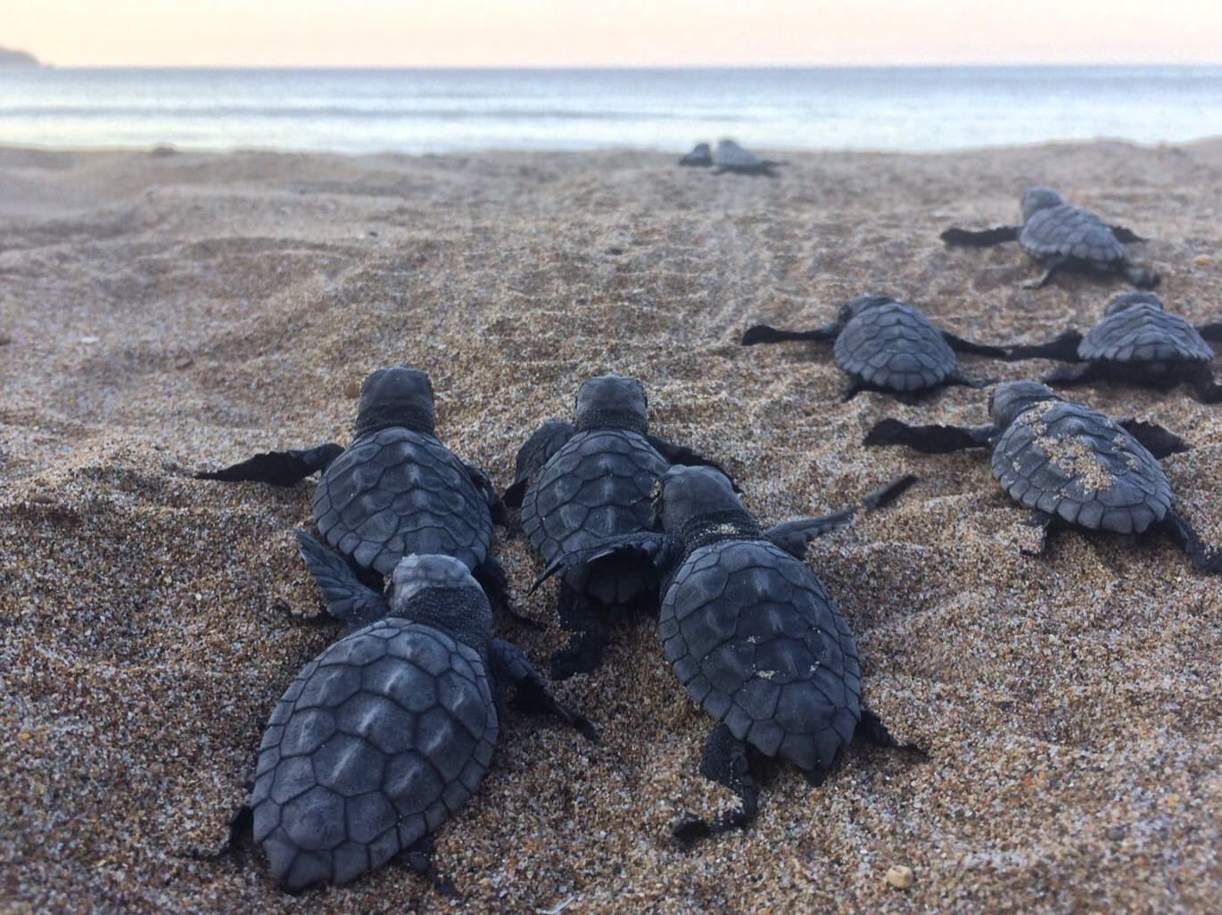Hatchlings (Green Sea turtles) on their way to the sea. Photo: Harriet Tyley @harriettyley