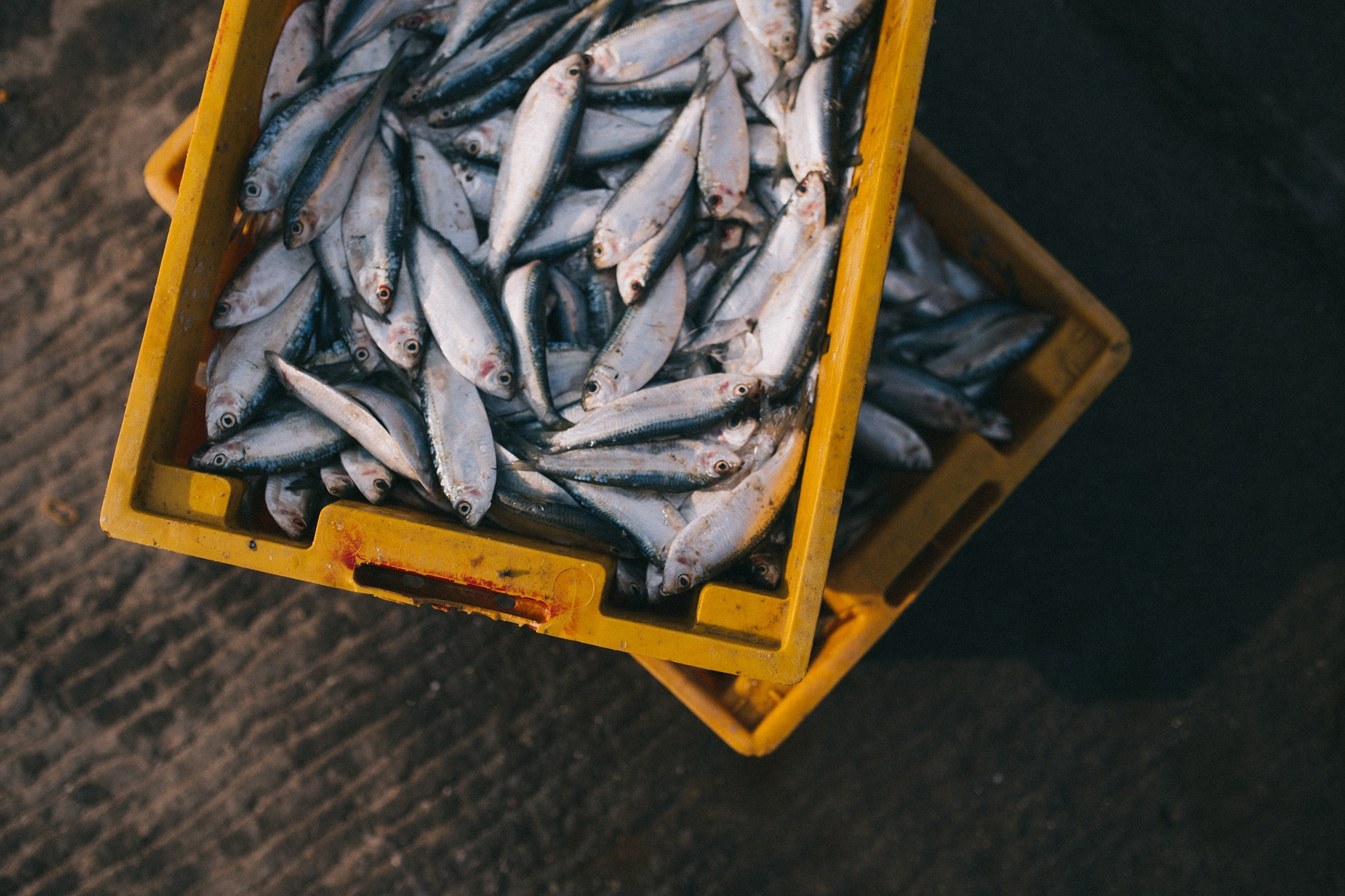 Atlantic cod, European hake, red mullet and European pilchard have all been found to contain microplastics. Photo: Pixabay