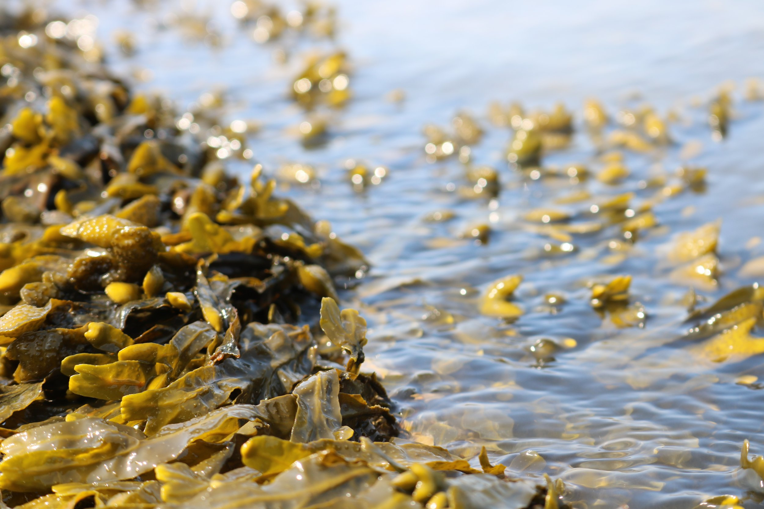 Seaweed is edible, and naturally biodegradable! Photo: Pixabay