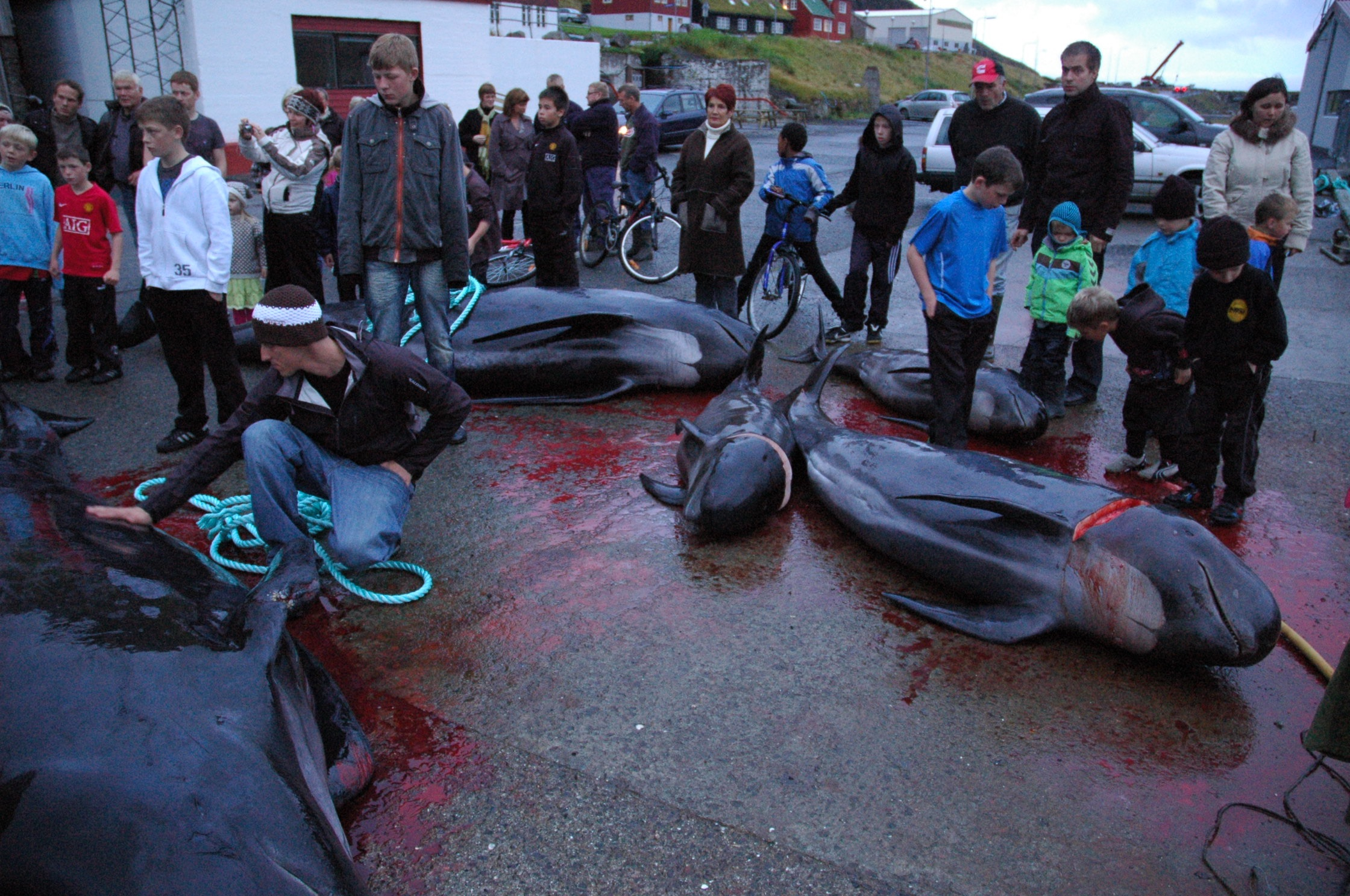 Community in the Faroes gathering to divvy out Pilot whales. Photo: Russell Fielding