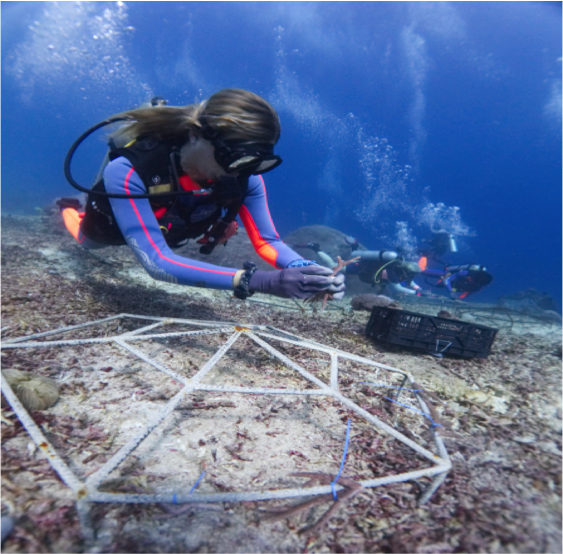 Out planting coral fragments to coral frames. Photo: Gili Shark Conservation