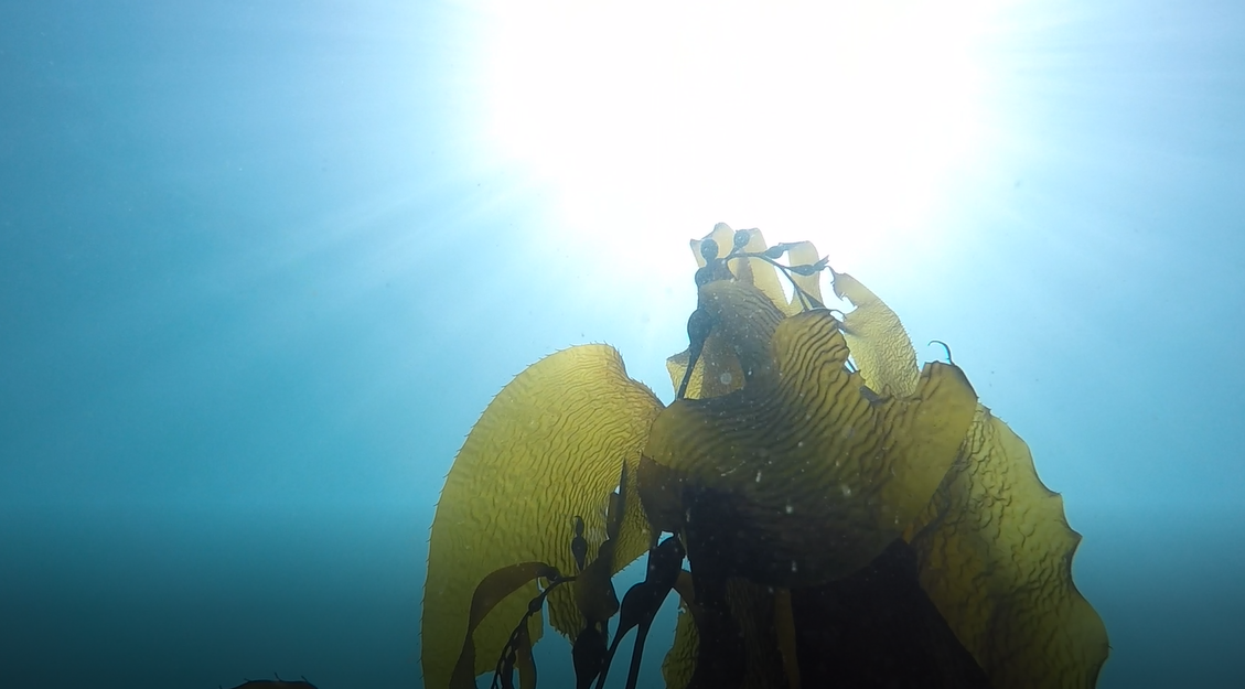 Tristin participated in a large research study on the productivity of these beautiful Aleutian kelp forests when they are overtaken by urchin barrens. Photo: Tristin McHugh