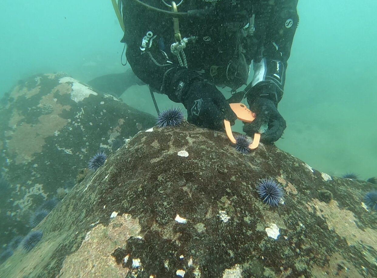 The technique is to measure the diameter of the urchin, and record how many are found at each size (100-200 urchins are measured per dive!) Photo: Elyssa Quinton