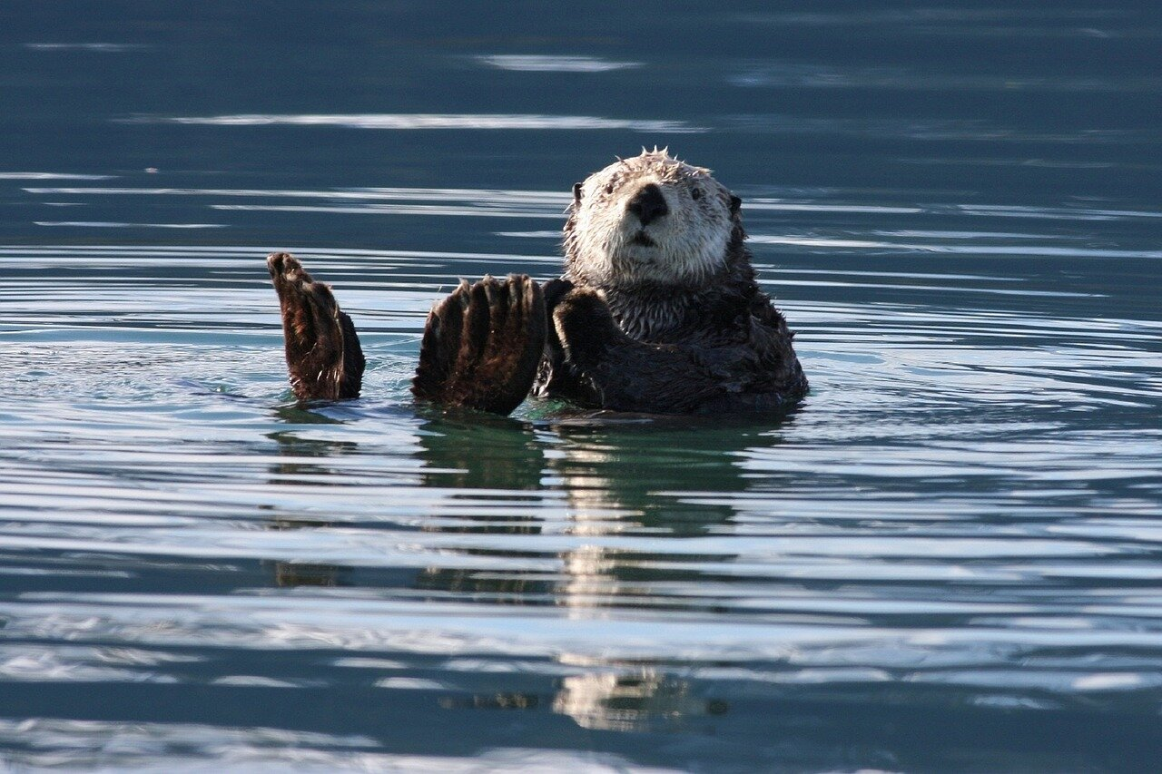 The re- introduction of the sea otter all down the north coast of California would be a dream of Tristin's. Photo: Pixabay