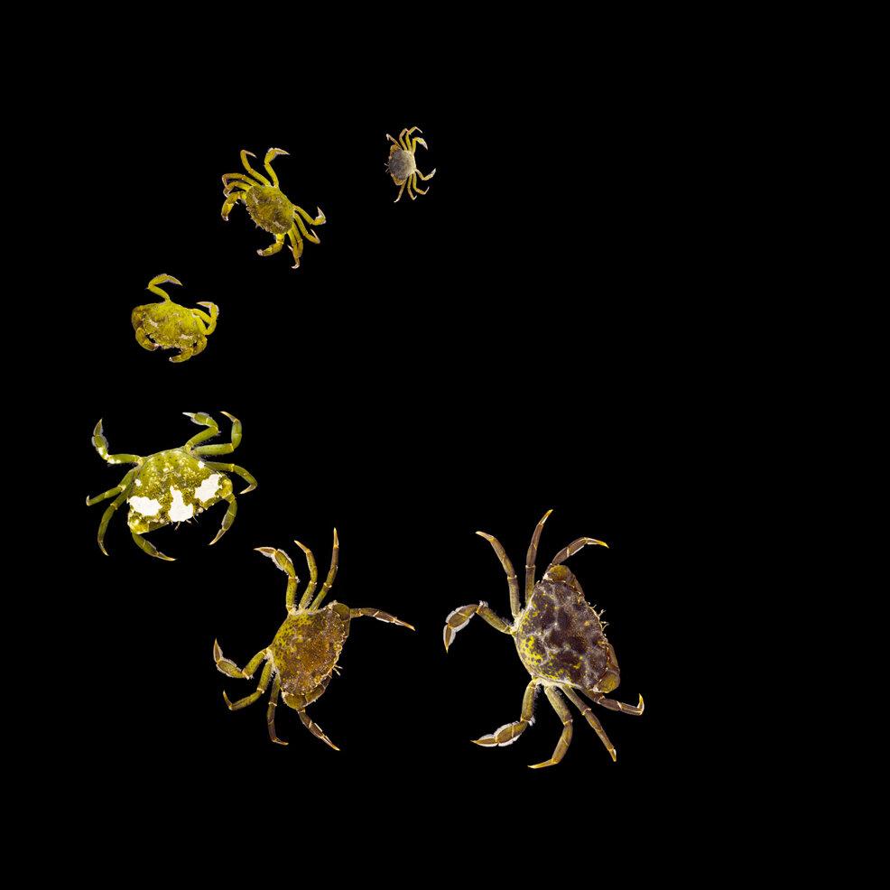 Shore Crabs. Photo: Saskia Sicherman