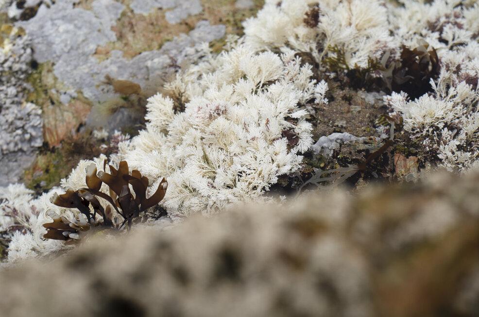 Bleached Corallina weed. Photo: Saskia Sicherman
