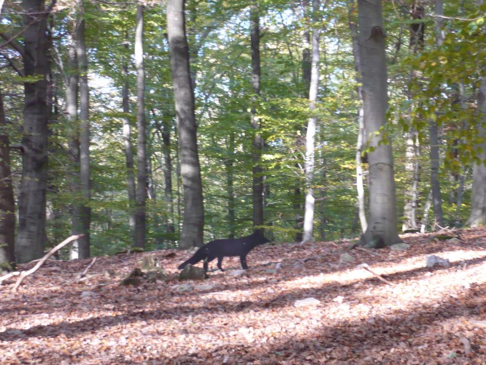 Un renard se profile.JPG