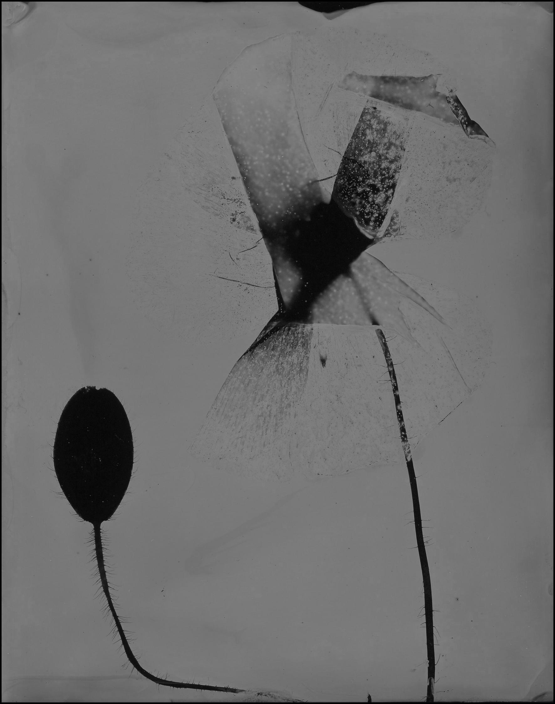 poppy001.jpg
