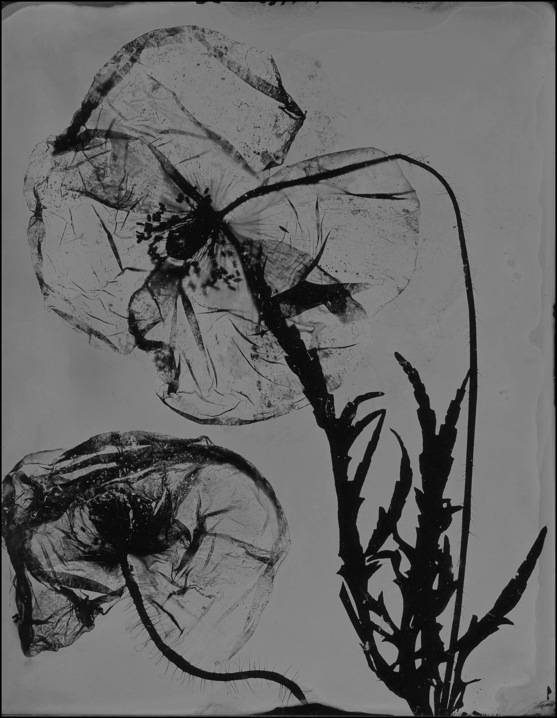poppy011.jpg