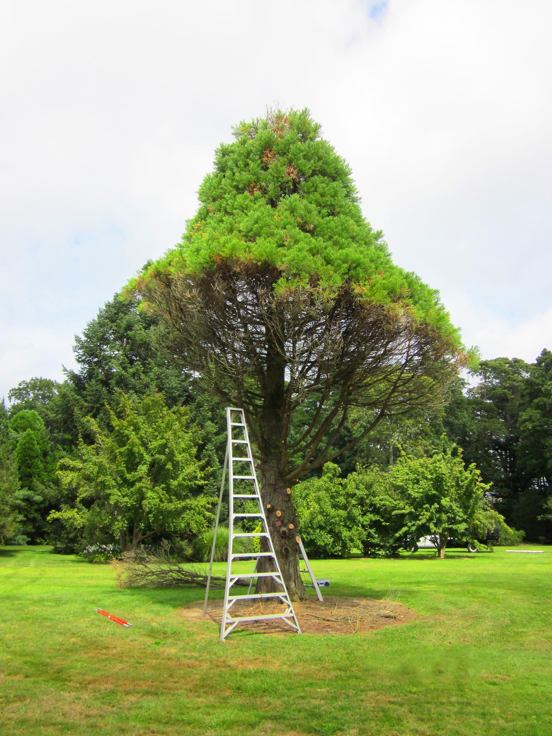 _Dryad Tree and Shrub Diagnostics_Bayard Cutting Arboretum_Sequioadendron Gigantum.jpg